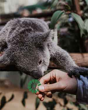 koala sniffing human hand we al;l need connection